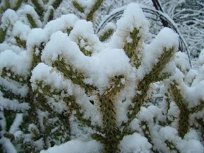 Cane Cholla (Opuntia parryi) in snow, 21 Nov 2004