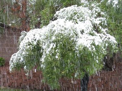 Video-Kiki-shaking-snow-off-leaning-tree-vegas 12-15-08