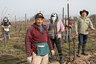 10:12am Tying up the pruned grapevines at the Sangiacomo Vineyards