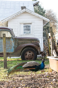 8:40am Peacock and old truck on Watmaugh Rd