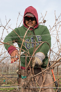 10:03am Pruning the grapevines at the Sangiacomo Vineyards