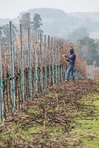 10:01am Pruning the grapevines at the Sangiacomo Vineyards