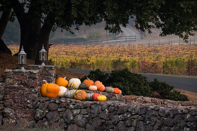 8:12am  Fall decorations and vineyards on Sonoma Mountain.