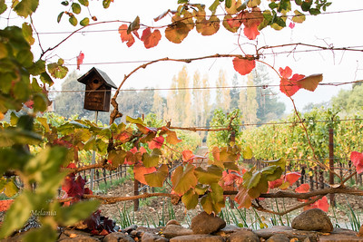 8:28 am  View through the vines at Stone Edge Vineyards.