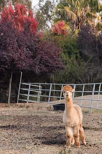 8:36am  Curious lama, West Sonoma.