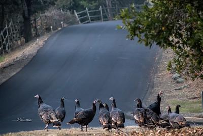 7:58am  The wild turkeys of Sonoma.