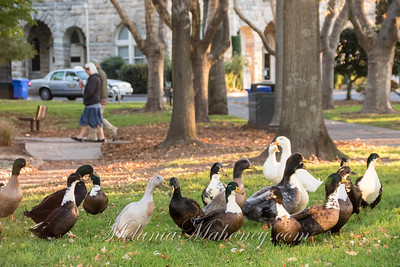 7:31am Plaza Ducks.
