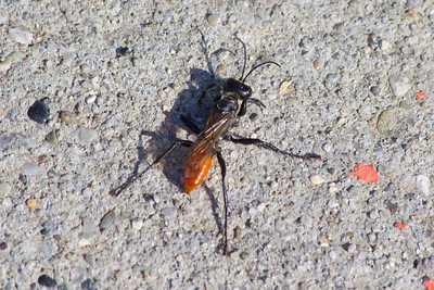 Black and Orange Wasp (Sphex lucae). NASA Moffett Field - Mountain View, CA, USA