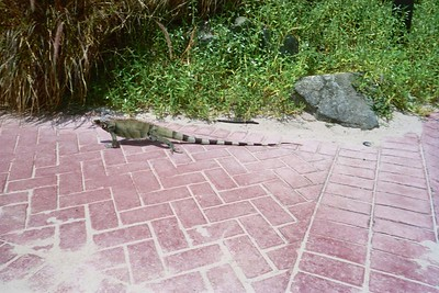 The Island was full of iguanas