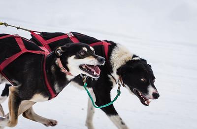 Grande Prairie Sled Dog Derby 2013