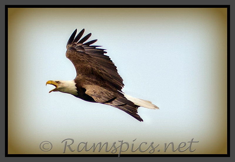 One of a pair of bald eagles outside of Bellevue MI.