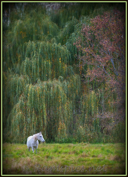 White horse grazing with willows in the background. Taken outside Charlotte MI. October of 2011.