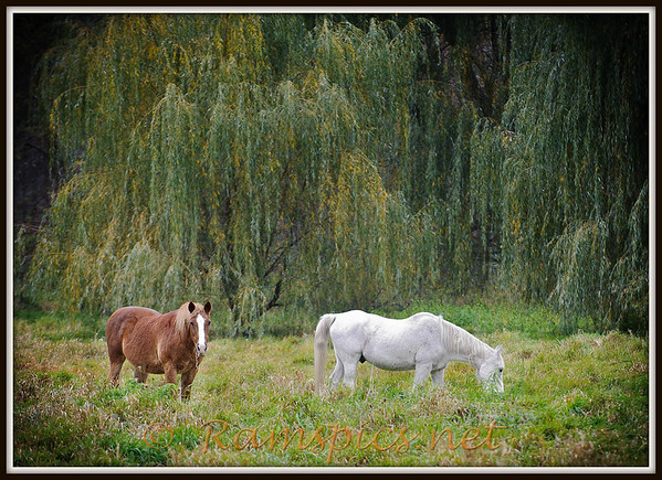 Photograph of horses grazing with large willows in the background. Photograph taken outside of Charlotte MI 2011.  I drove by this property several times over the course of a week or so, to capture the right light and (hopefully) the right moment. * This photograph is on permanent display at the Charlotte (MI) Community Library.