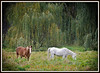 Photograph of horses grazing with large willows in the background. Photograph taken outside of Charlotte MI 2011. <br /> I drove by this property several times over the course of a week or so, to capture the right light and (hopefully) the right moment. * This photograph is on permanent display at the Charlotte (MI) Community Library.