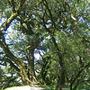 Ancient Oaks Grove.JPG