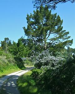 Ceanothus & Monterey Pine