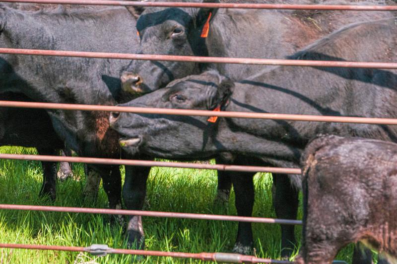 roundup cow balls through pipe corral fence