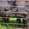 roundup cow balls through pipe corral fence