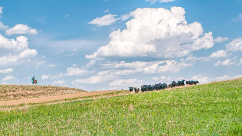roundup cowboy comes over the hill with herd of cattle