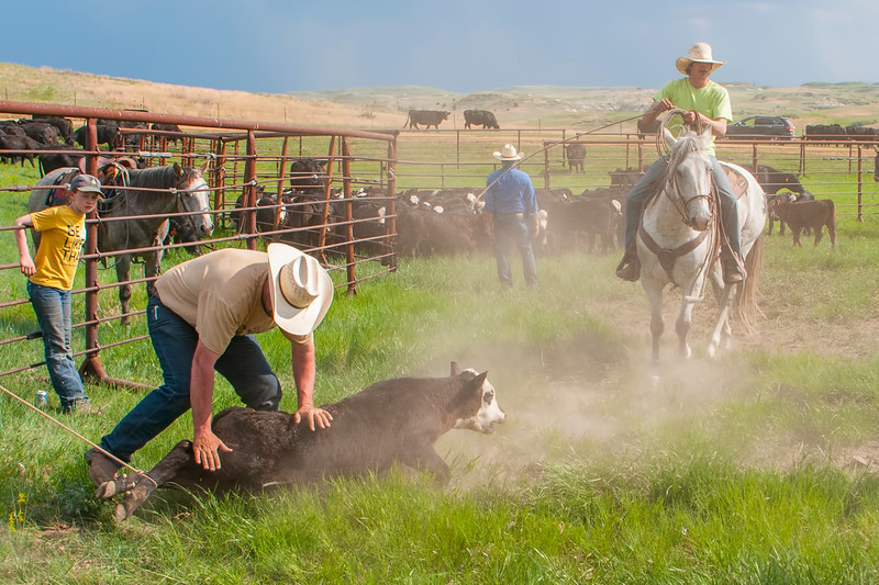 roundup calf roped by hind legs and down in the dust