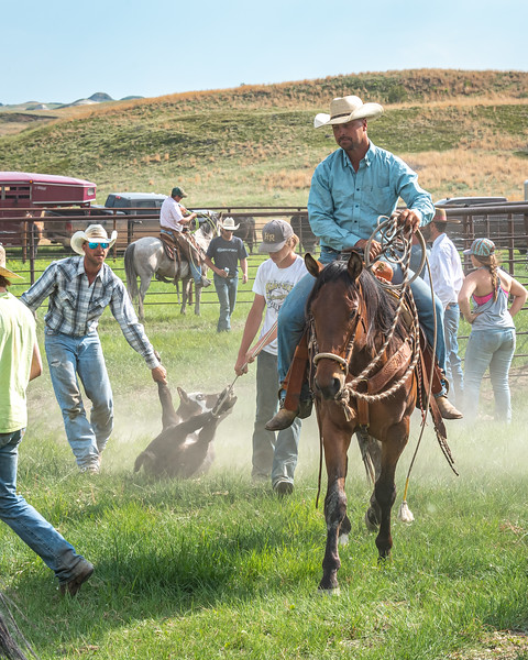 cowboy on horse lt blue shirt bringing out calf plaid shirt helping