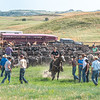 dragging calf out of corral people on right watching