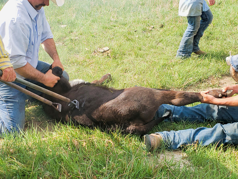 holding calf as branding irons are nearby
