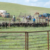 roundup calves in the corral at the base of the hill