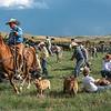 cowboy in blue drags calf