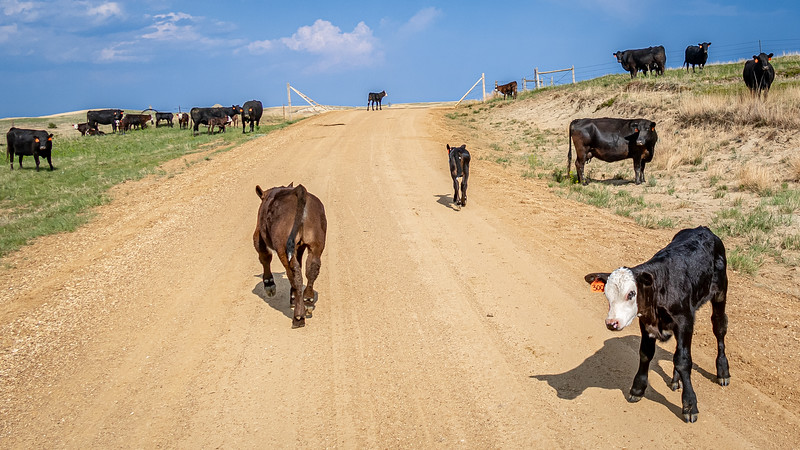 cows and calves on road after branding