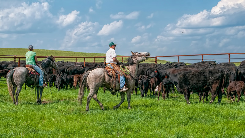 round up two riders in pen with calves