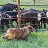 calves looking at dog