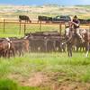 roundup 701 cowboy sorts calves