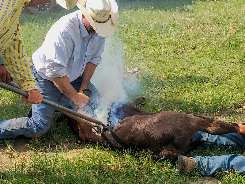 branding a calf