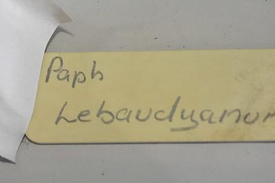 Paphiopedilum Lebaudyanum