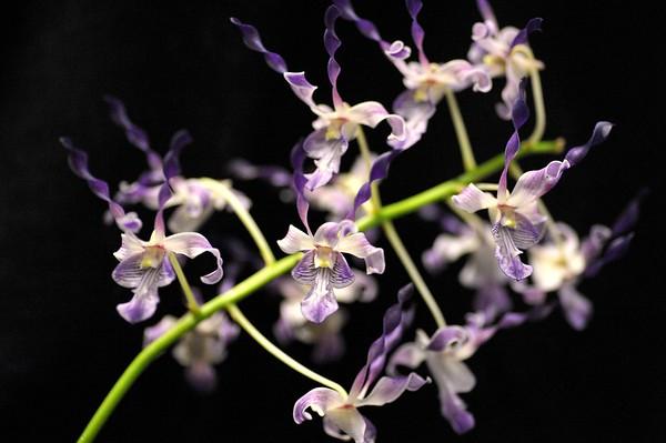 Dendrobium Blue Sparkle X Dendrobium lasianthera