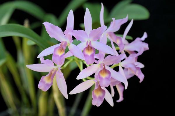 Natural hybrid: Guarianthe × guatemalensis (Gur. aurantiaca × Gur. skinneri)