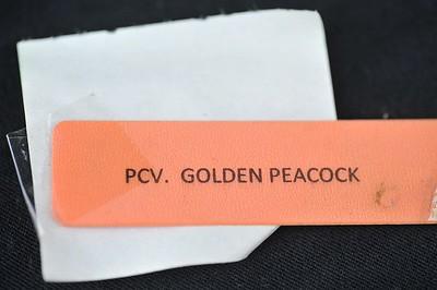 Procatavola Golden Peacock