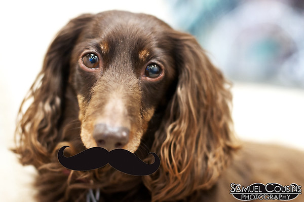 Dave Marshall's dog, Mocha, with a stache.