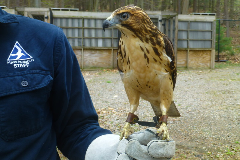 Volunteers at Blue Hills put down their rakes when this Broad-winged Hawk swoops in for a visit.