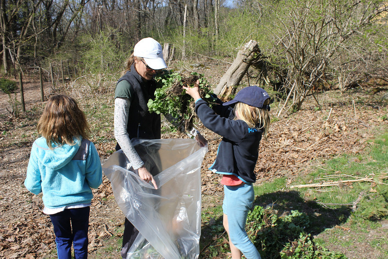 Volunteers filled 48 large trash bags with Garlic Mustard, an aggressive plant that quickly crowds out native species.