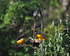 and welcomed back the first Baltimore Orioles of the season, as well as the first of the Purple Martins and Bobolinks.