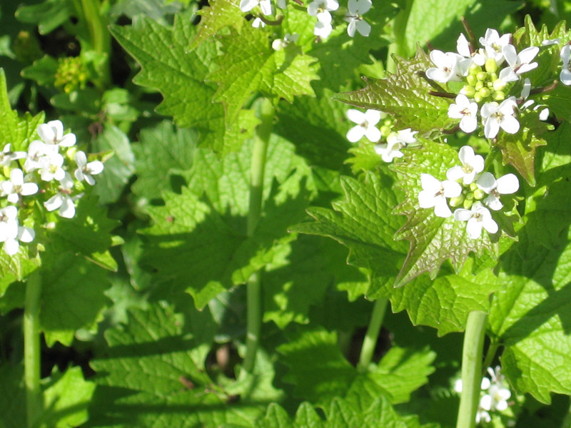 "such as garlic mustard with its ""pretty"" white flowers. . ."