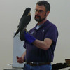 A Peregrine Falcon posed for volunteers at Blue Hills . . .