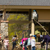 . . . while a tree swallow oversees the progress at Boston Nature Center.