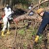 At Cedar Pond, volunteers dismember a fallen tree -- very carefully!