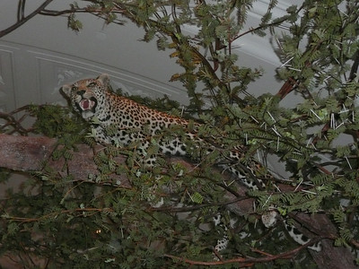 A cheetah hiding in the trees waiting to pounce down on unsuspecting visitors