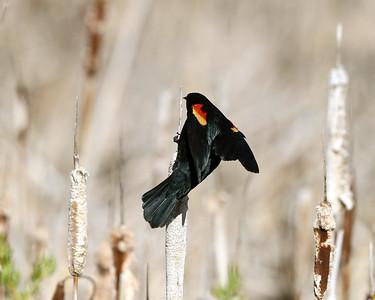 Redwinged Blackbirds are enjoying the Sunshine