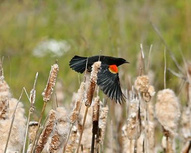Redwinged Blackbirds are enjoying the Sunshine ,
