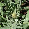 An artichoke.
